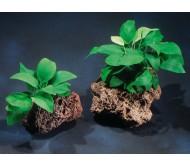 Anubias barteri var. Nana (Rizoma con 5 a 6 hojas)